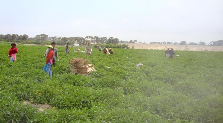 Plantações de Pepino