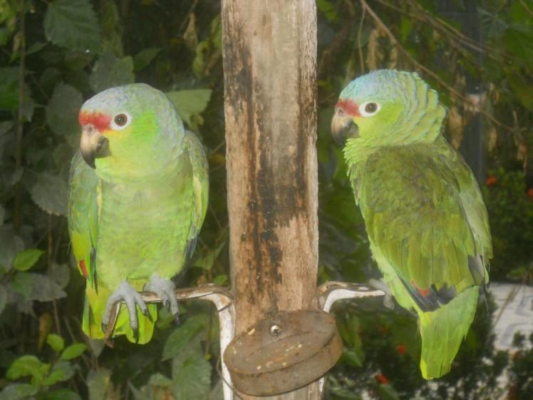 Papagaios no Hotel no Arenal