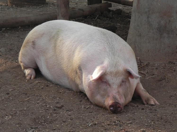 Lola - A porquinha de estimação do restaurante de Avellanas