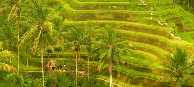 Ubud - Rice Terrace