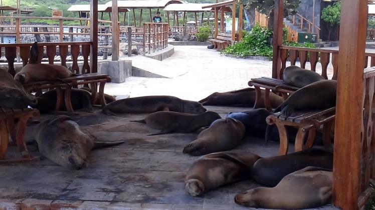 Leões marinhos em San Cristobal