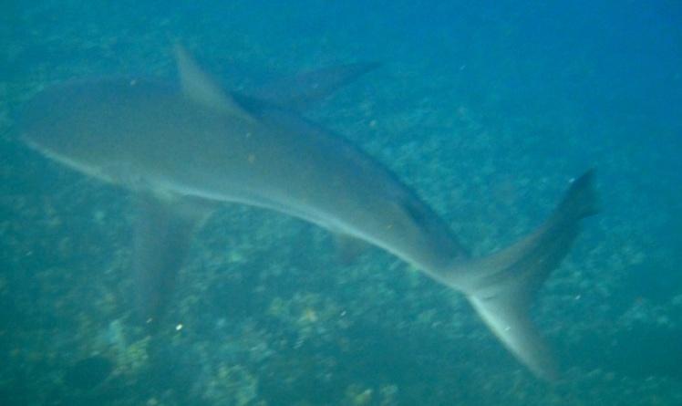 León Dormido - Tubarão de Galápagos