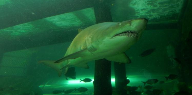 Sydney Aquarium - Tiburones