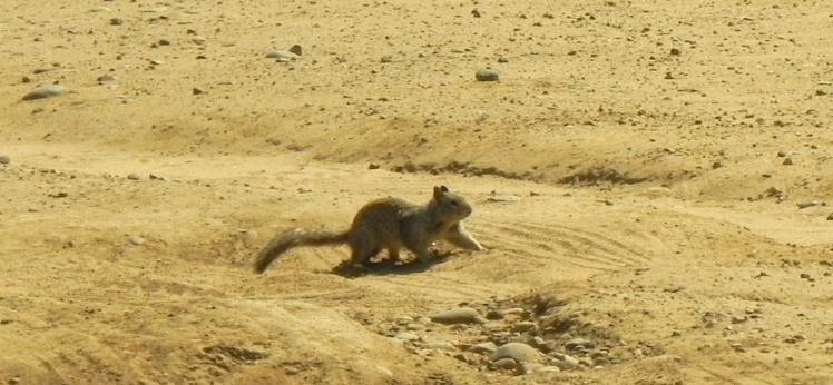 Esquilos em Torrey Pines