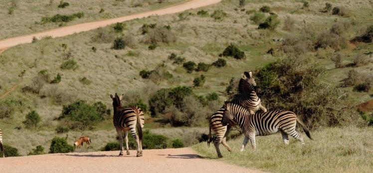 ADDO - Deu zebra