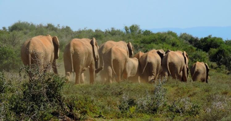 ADDO - Elefantes