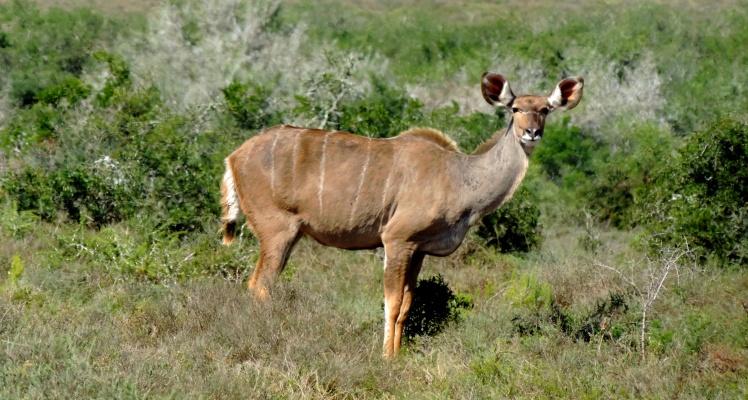 African Safari - Bushbuck