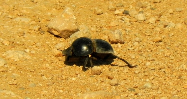 Flightlesse Dung Beetle