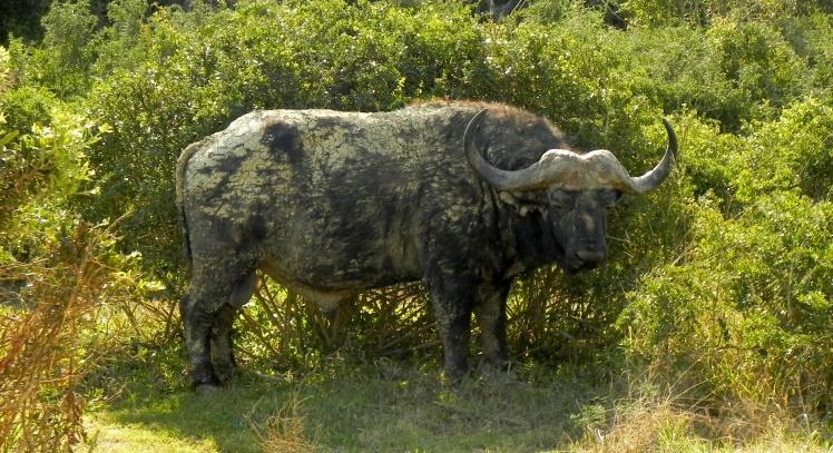 Addo Elephant Park - Bufalo