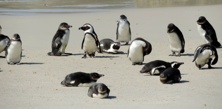 Pinguins-africanos - Boulders Beach