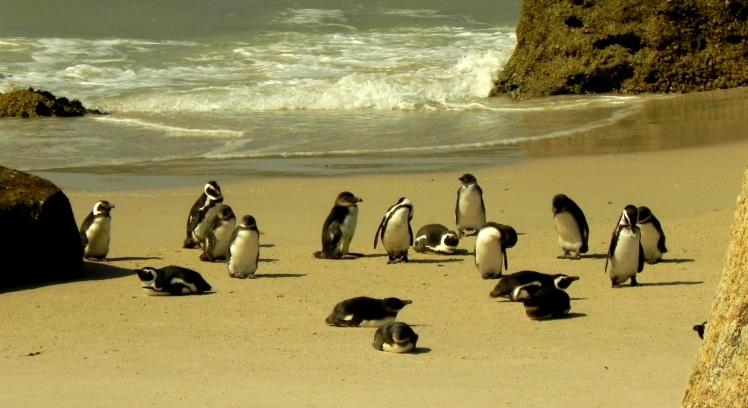 Pinguins-africanos - Boulders Beach
